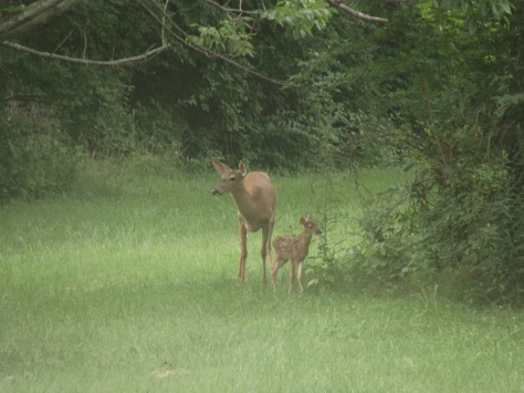 New fawn and Momma!